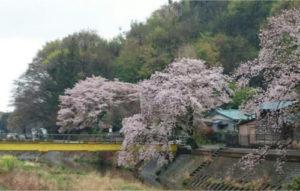 小鮎川と桜・・・絵になります